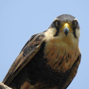 Falco femoralis - Halcón Plomizo 1